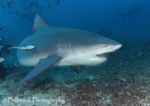 Bull shark at Bistro