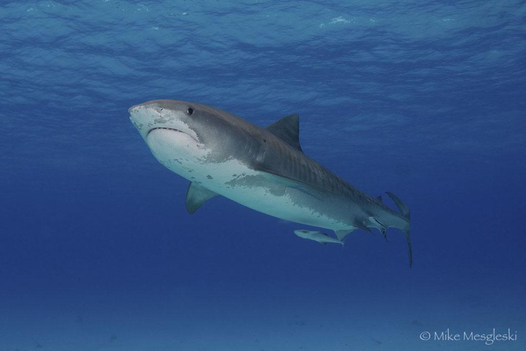 tiger shark 1280x800 - photo #25
