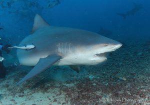 Beqa Lagoon shark dive