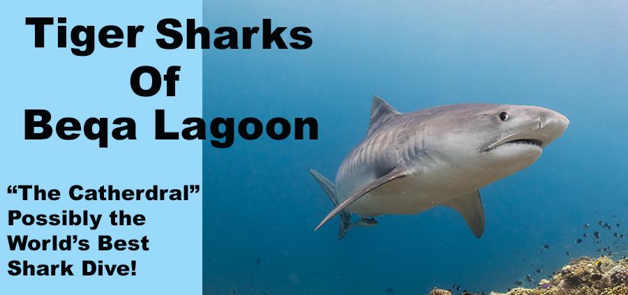 tiger sharks of beta lagoon